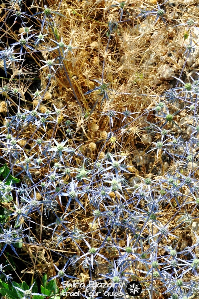 Dry yellow thorns mixed with star-shaped, bluish thorns