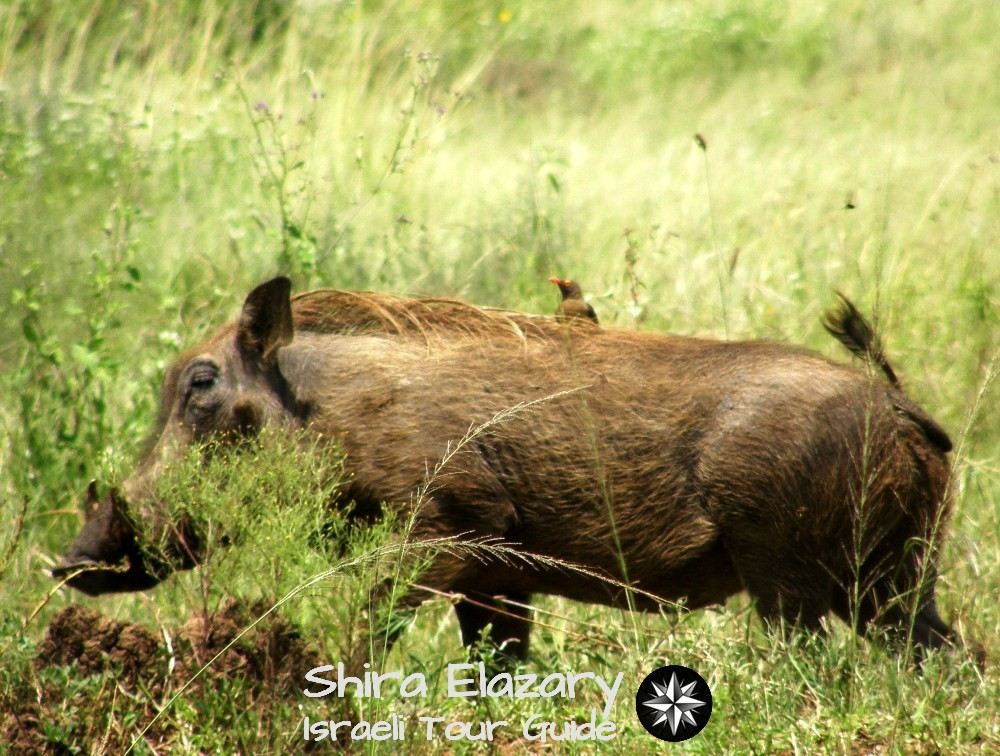 A wild boar with a bird on its back walking through tall grass
