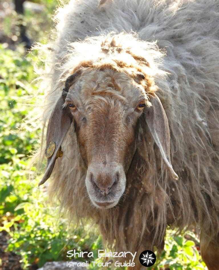 Fuzzy looking brown sheep looking calmly at camera