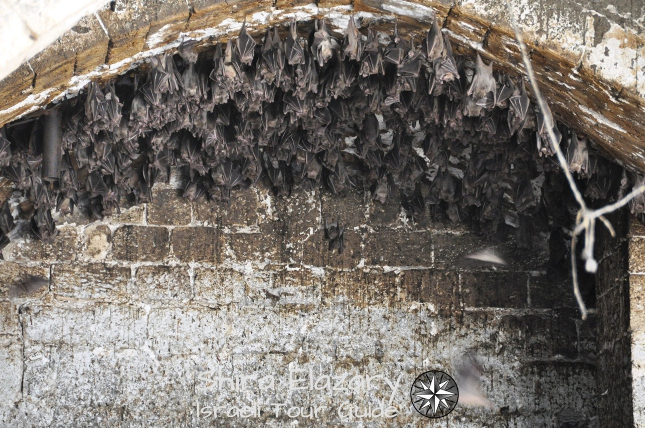 Bats hanging from the ceiling of the old Seraya in Jaffa